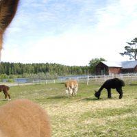 Savanna-alpakan ensimmäinen kesä