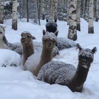 Alpakat lumisateella