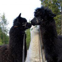 Alpakkapojat Neo, Sonetti ja Nobel